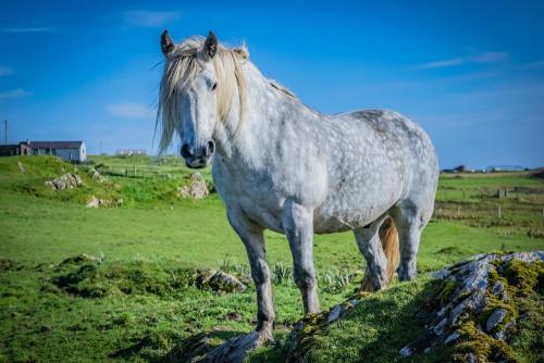 A Highland pony