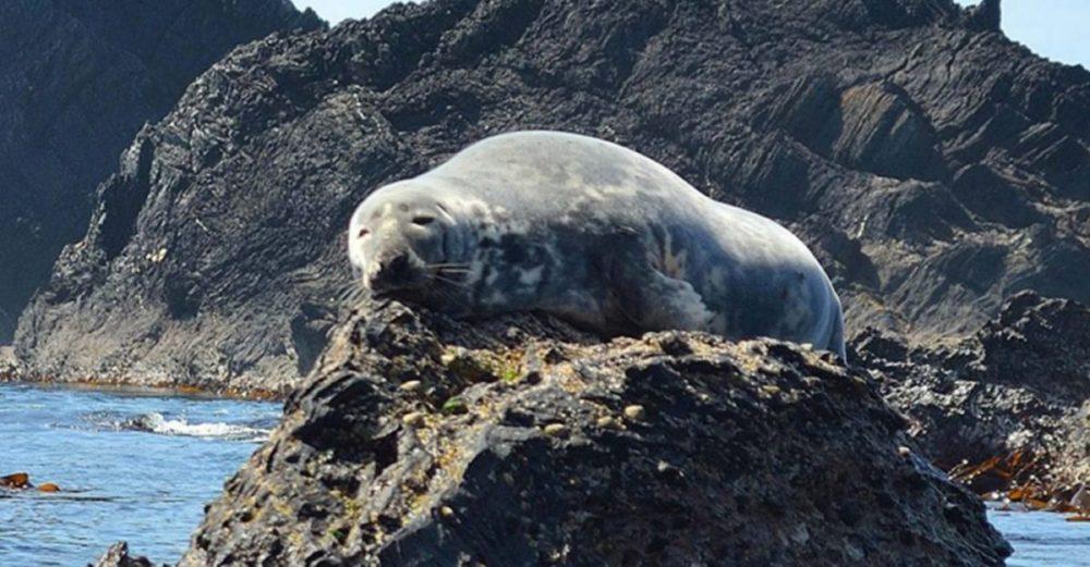 Seal sun bathing on a rock
