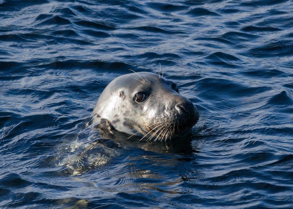 Grey seal swimming in the sea in Scotland
