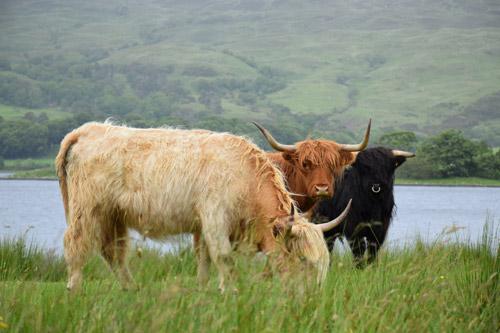 Three Highland cows grazing